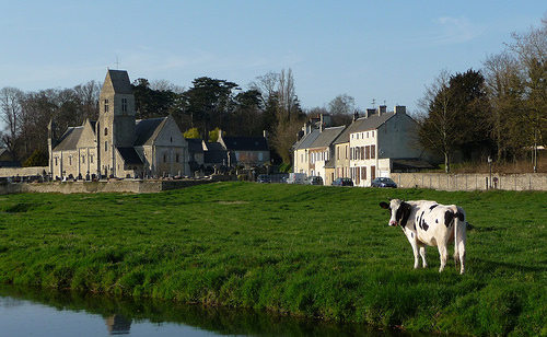 Normandy cow (photo: Jennifer Greco)