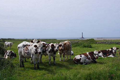 normandy cows (photo: Jennifer Greco)