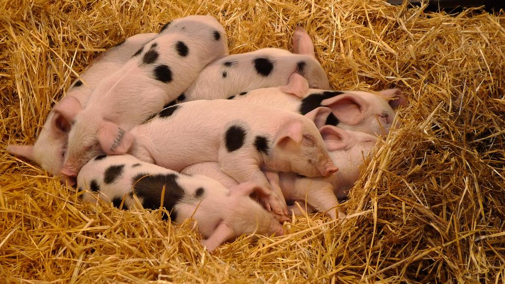 pigs at salon de l'agriculture | parisbymouth.com